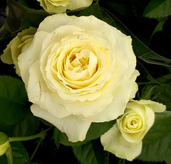 Y like YELLOW roses