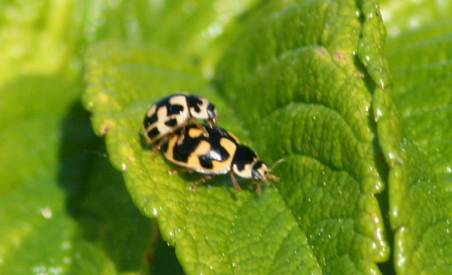 14-spotted Ladybird (Propylea quatuordecimpunctata) Pair number 2 making more Ladybirds