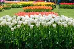 Fête de la tulipe...