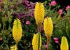 Kniphofia  'Sunningdale Yellow copy