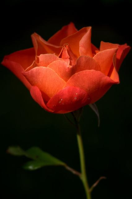 Rose, emblême de Gerberoy