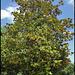 Magnolia ( laurus nobilis) (6)