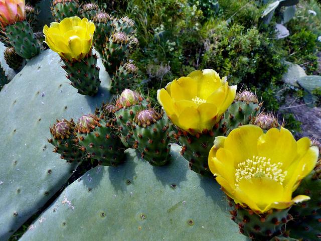 Sardinia - Cactus