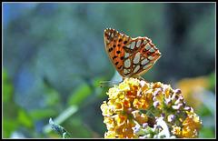 Issoria lathonia- Petit nacré (1)