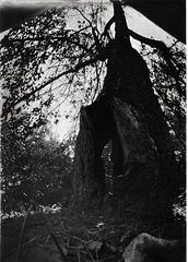 Old Gravenstein