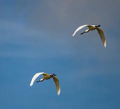 Practicing flight shots: Spoonbills