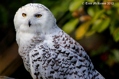 Snowy Owl profile 146 copy