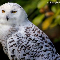 Snowy Owl profile 146 copy