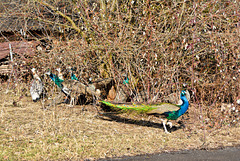 Mr. Peacock and his harem