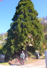 Mammutbaum in Pirna/Copitz Elbtal