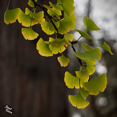 Pictures for Pam, Day 26: Cascading Gingko Leaves
