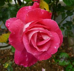 Rose sous la pluie...