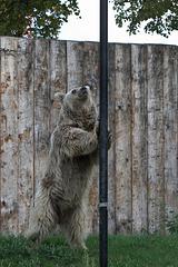 Braunbär (Zoo Heidelberg)