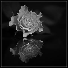 Rose Mono