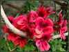 Family geranium (see notes!). HFF everyone!