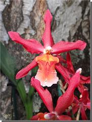 """Orchidée Odontoglossum """"Ryana"""""""