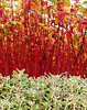 A lovely red stemmed dogwood background