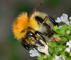 Bee on Oregano Flowers