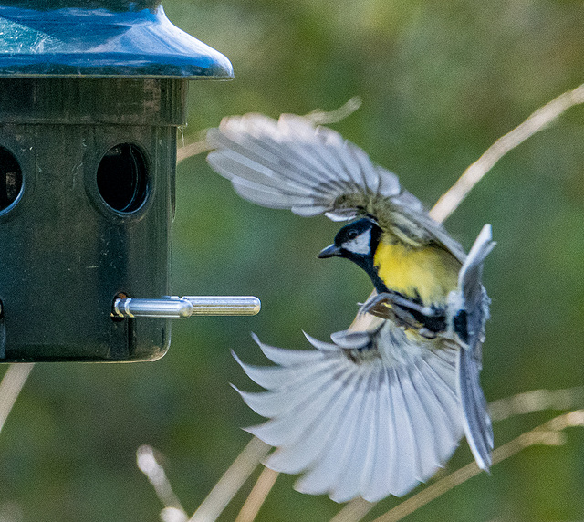 Great tit coming into the feeder