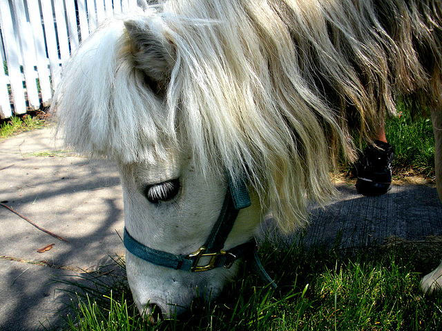 Stormy the mini-horse