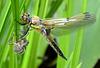 Vierflecklibelle nach dem Ausschlüpfen