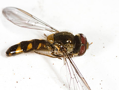 HoverflyIMG 8018