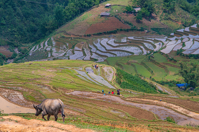 Rice fields along the trekking path