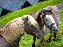 Leynar - una coppia di cavalli vikinghi - (482)