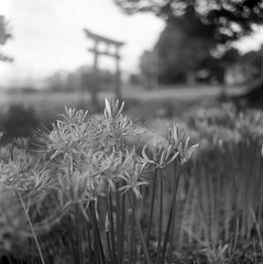 Spider lily at shrine