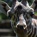 Giraffe aus der Nähe (Wilhelma)