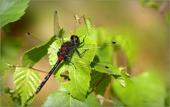 Small whiteface, White-faced darter ~ Venwitsnuitlibel (Leucorrhinia dubia), man...