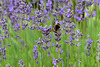 Lavendel mit Besucher