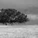Azinheira, Quercus ilex,