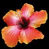 Hibiscus on Black (Explored)