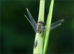 Lilypad Whiteface, Dainty White-faced Darter ~ Sierlijke witsnuitlibel (Leucorrhinia caudalis), man...