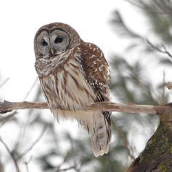 owl St Bruno Jan 5 2019 DSC 1152-3