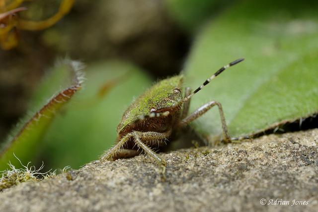 Dolycoris baccarum (Hairy Shieldbug)