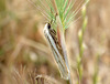 Philobota species near Philobota agnesella