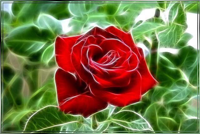Last Rose... ©UdoSm