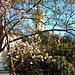 Szeged, Magnolia virágzás