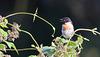 Tarier pâtre mâle - Male European Stonechat