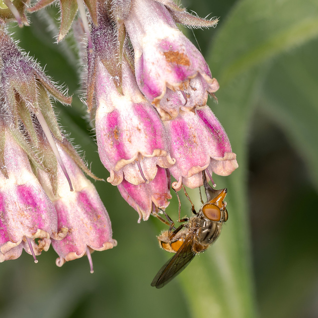 Feeding Hoverfly 01