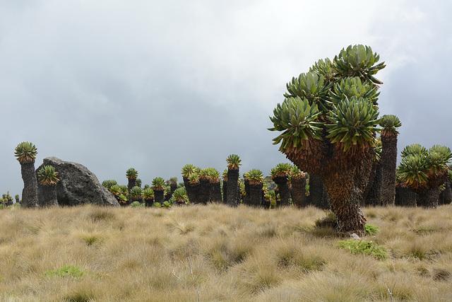 Dendrosenecio Kilimanjari