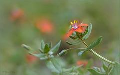 Scarlet pimpernel ~ Rood guichelheil (Anagallis arvensis subsp. arvensis)...