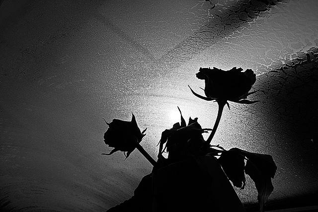 Rose 21/50 : runtergebracht / put you down
