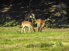 20171001 3171CPw [D~LIP] Damwild, Landschaftspark, Bad Saluflen