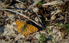 Queen of Spain Fritillary ~ Kleine parelmoervlinder (Issoria lathonia)...