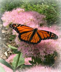 A Monarch in my Garden!