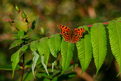 Comma Butterfly in October
