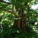 Métaséquoia de Chine - Jardin des Plantes